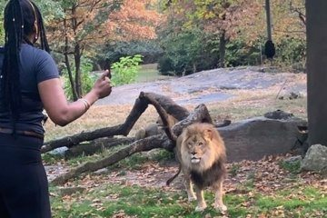 The woman accused of entering the Bronx Zoo lion enclosure was arrested