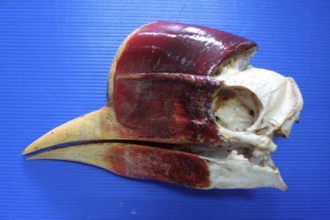 Better protection sought for Thailand's helmeted hornbill