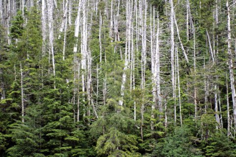 Yellow cedar rejected for threatened species listing