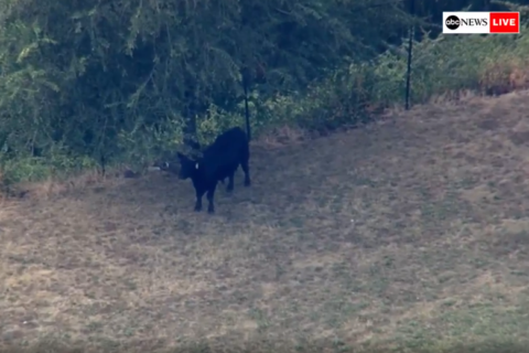 Bull in custody after escape, stroll around West Baltimore