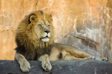 The Bronx Zoo says a woman seen dancing inside its lion enclosure could have been seriously hurt or killed