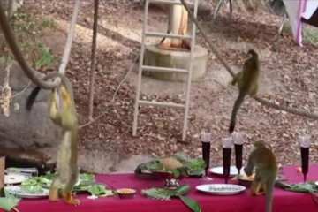 Zoo treats monkeys to holiday 'Feast for Beasts'