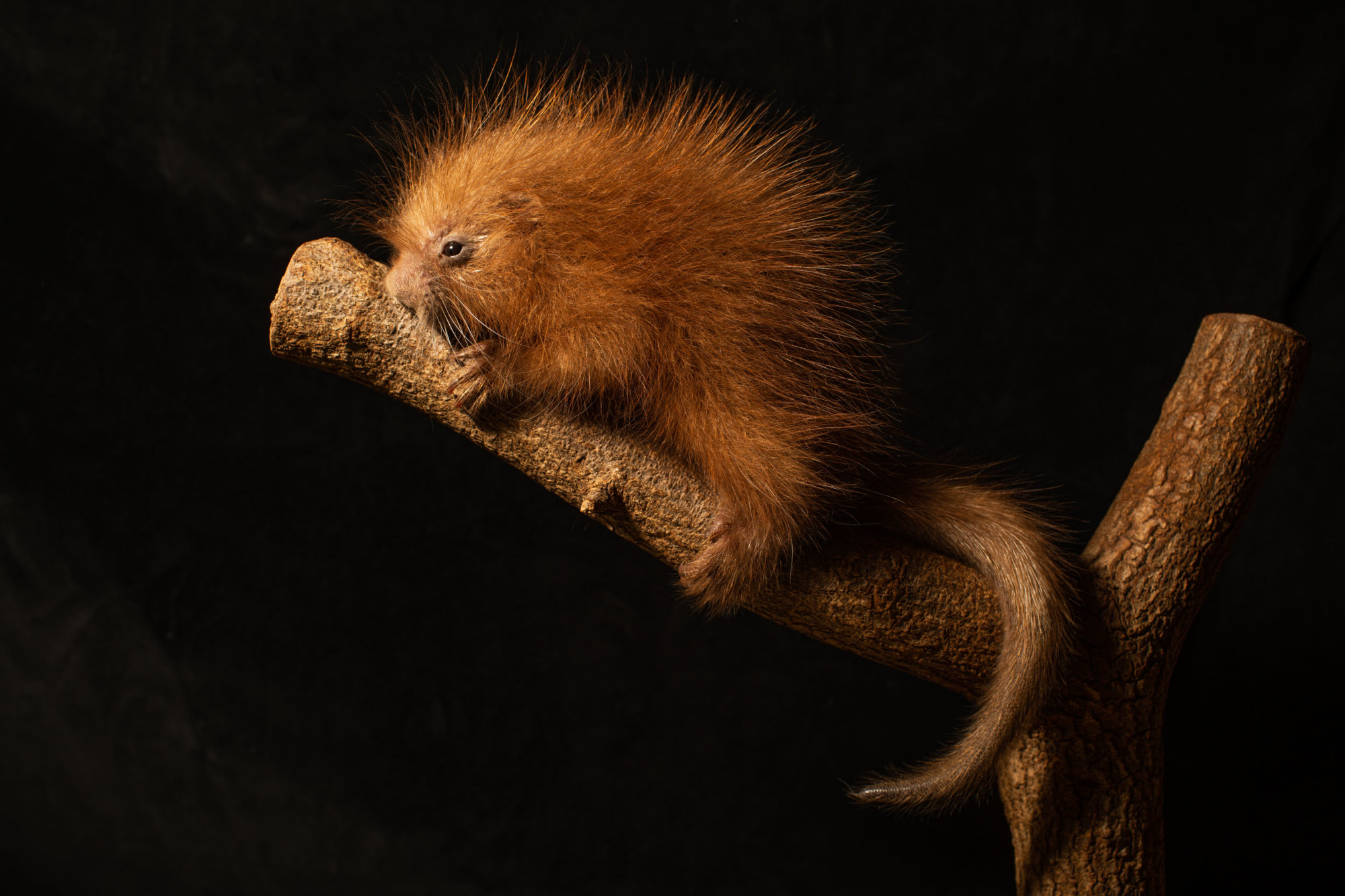 Three-day-old porcupette
