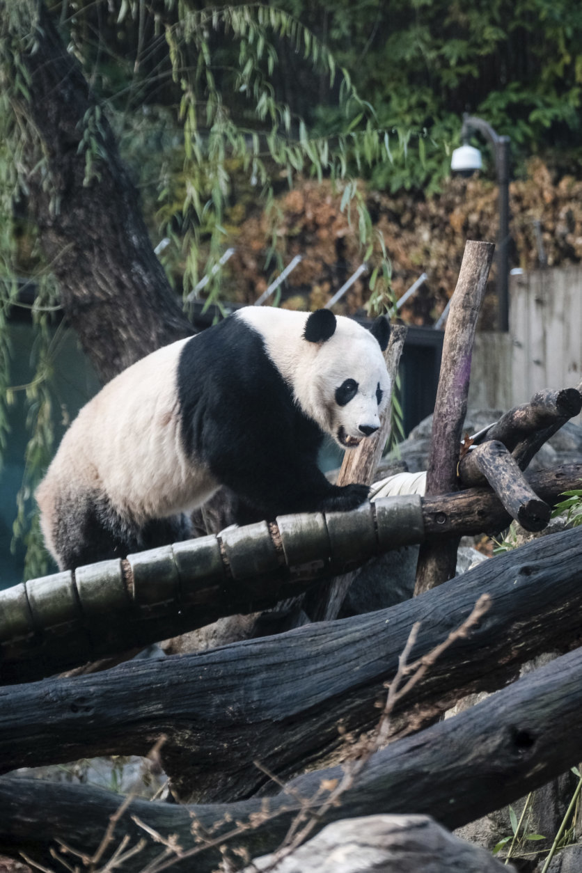 <p>Bei Bei was born at the National Zoo on Aug. 22, 2015, via artificial insemination. His parents, Mei Xiang and Tian Tian, continue to live at the zoo.</p>