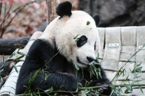 Bei Bei arrives at giant panda base in China's Sichuan