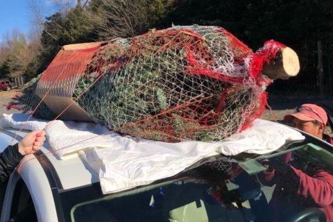 Green Friday: Relishing tradition, families cut fresh Christmas trees