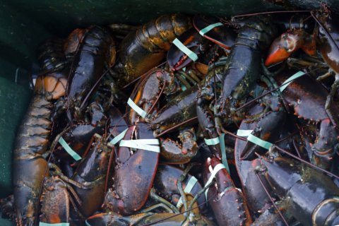 Slower lobster season means high prices, worried fishermen