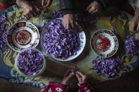 AP PHOTOS: Laborious saffron harvest unites Moroccan village