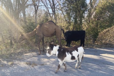 Camel, cow, donkey found roaming together along Kansas road