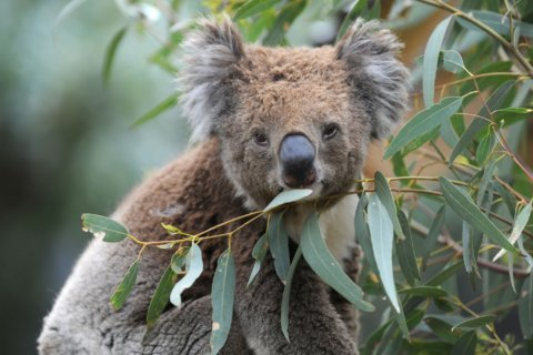 Koalas are likely dying by the hundreds as Australian wildfires tear across their habitat