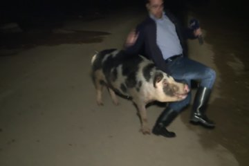 Lovestruck pig pursues TV reporter live on air