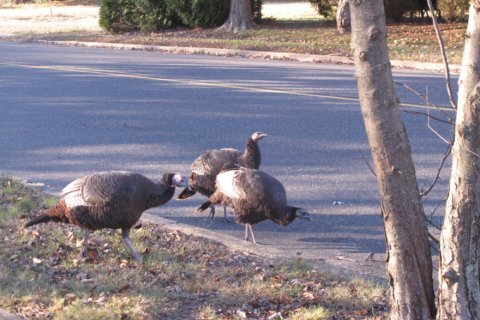 NJ will trap turkeys troubling Jersey Shore neighborhood