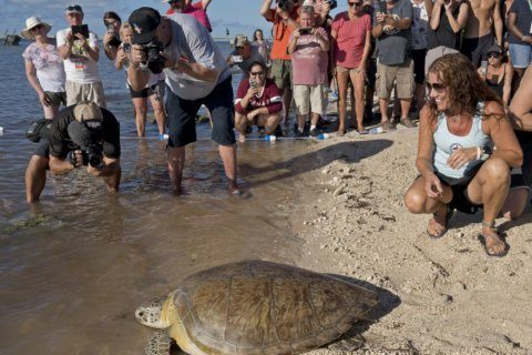 Turtle returned to ocean after recovering from spear attack