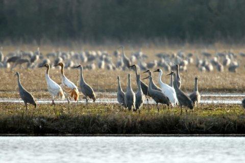 Whooping cranes return to Alabama national wildlife refuge
