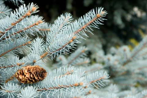 New Mexico prepares to harvest US Capitol Christmas tree