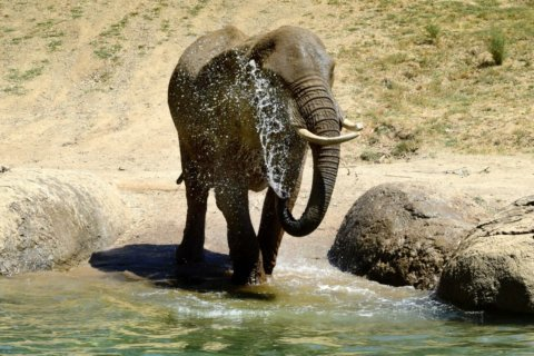 African elephant at Oakland Zoo dies after long life
