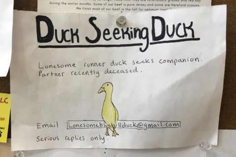 Lonesome duck: Dating ad seeks match for man's grieving bird