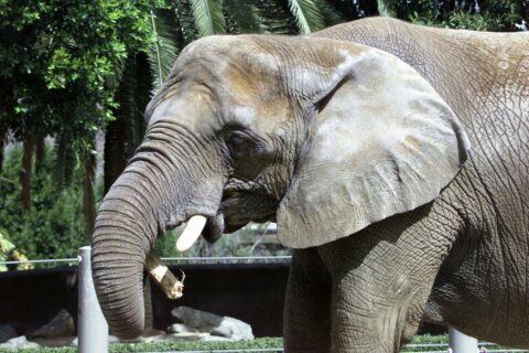 48-year-old elephant euthanized at San Diego Zoo