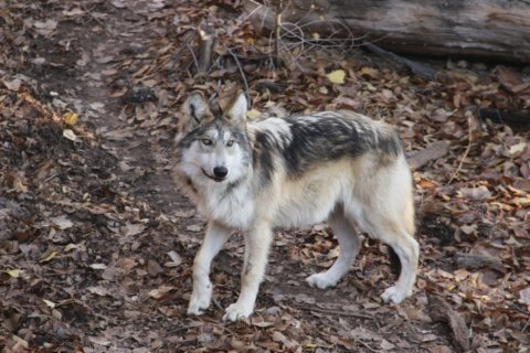 New Mexico zoo cares for endangered Mexican gray wolves