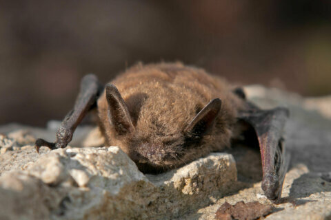DC might go batty: Public hearing to be held on naming little brown bat as official 'state' mammal