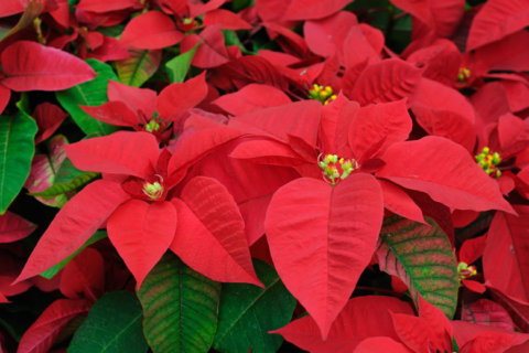 Christmas tree care advice, plus poinsettia and rosemary tips