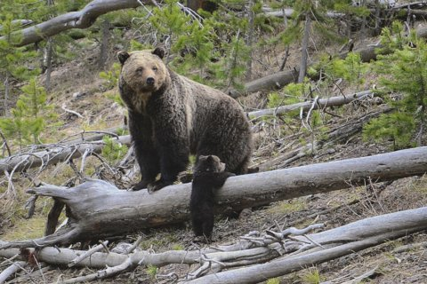 Feds agree to review grizzly protections in contiguous US