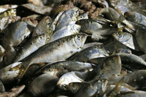 Fish oil firm overfishing may lead to moratorium for Virginia
