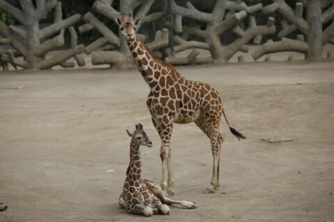 Mexico City zoo welcomes second baby giraffe of the year