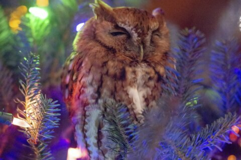 Whoo's there? Georgia family discovers owl in Christmas tree