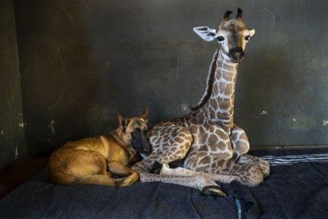 Abandoned baby giraffe befriended by dog in Africa dies