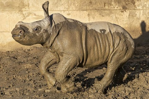Baby white rhino gets name, frolics in mud at San Diego zoo