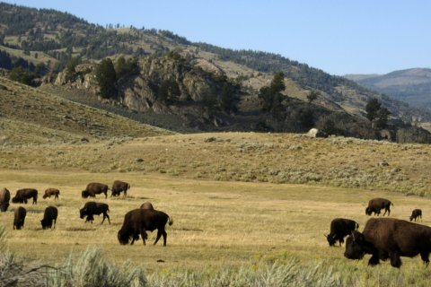 Hundreds of Yellowstone bison to be culled this winter
