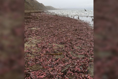 Thousands of 'penis fish' washed up on a California beach