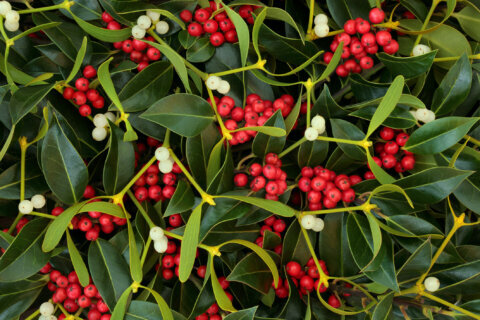 Kissed under the mistletoe? Gross! The not-so romantic origins of a holiday staple