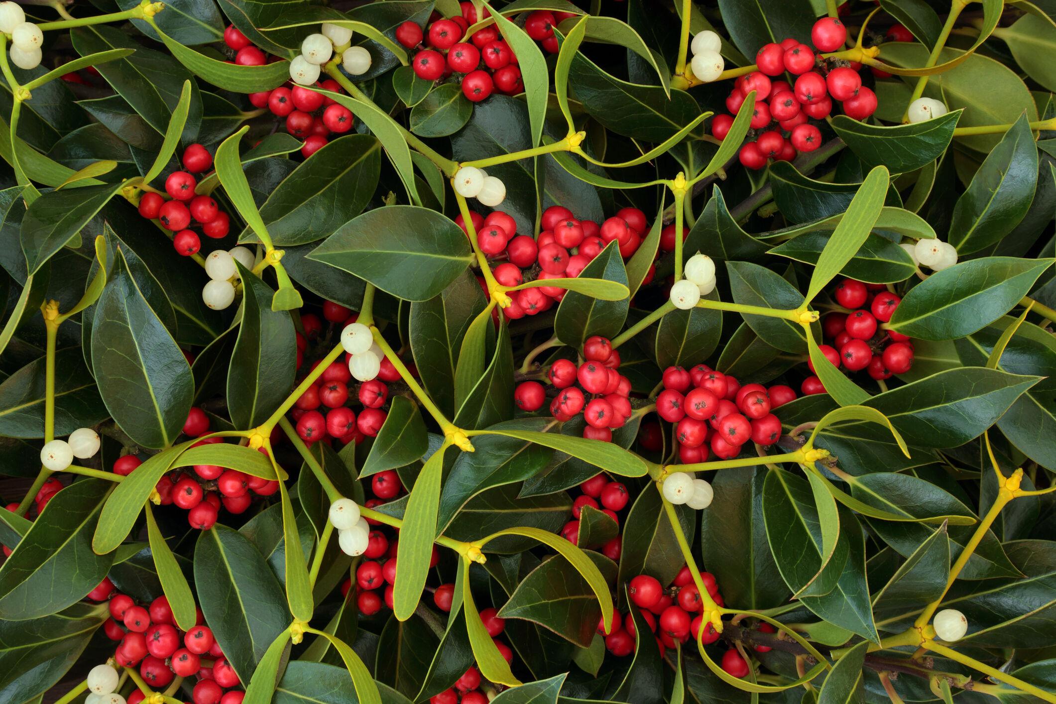 Kissed under the mistletoe? Gross! The not-so romantic origins of ...