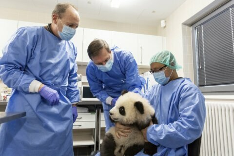 Berlin zoo prepares panda cubs for their big day out