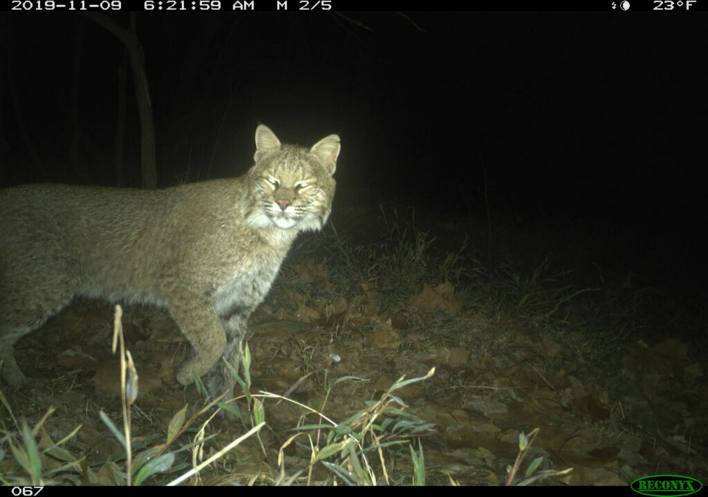 Bobcat Spotted in Georgetown