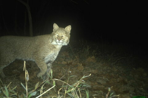Cat-tivating: Bobcat spotted along C&O Canal in Georgetown