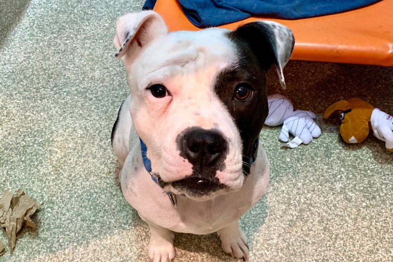 <p>Meet Cali! This sweet girl is the ray of sunshine you need in your life. Cali came to the Humane Rescue Alliance last month when her previous owner was unable to care for her. We'd love to help this fun, active, 2-year-old girl find a new home to call her own. Cali is past the puppy phase and already knows sit and stay. She'd do well with a family that can continue to work with her on her basic manners and give her the love and attention she desperately needs. Meet Cali at HRA's Oglethorpe Street adoption center.</p>