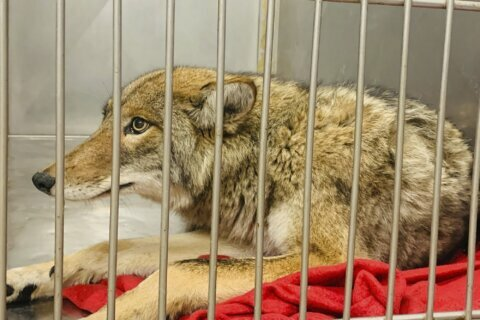 DNA tests confirm coyote captured in Chicago attacked boy
