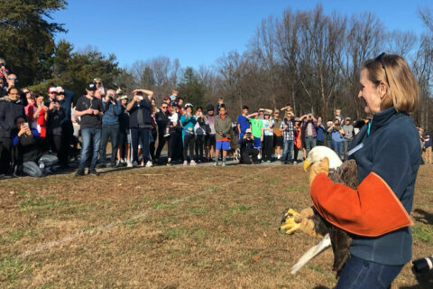 Injured bald eagle released after making full recovery in Fairfax County