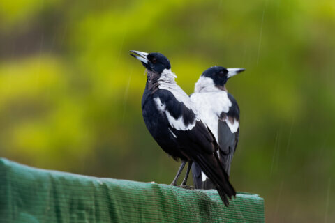 Australian magpie mimics emergency sirens as deadly fires rage