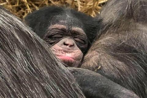 raven, baby chimpanzee, maryland zoo