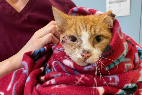 Saving Cupid: Arlington shelter rescues cat found on Valentine's Day with arrow in head