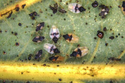Invasive bug found feeding on avocado plants in Hawaii