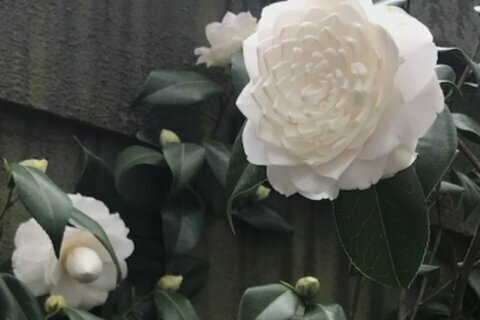 Thanks to plant breeders, camellia moves farther north