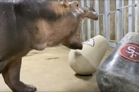 Hippo Fiona makes a mess of her Super Bowl pick