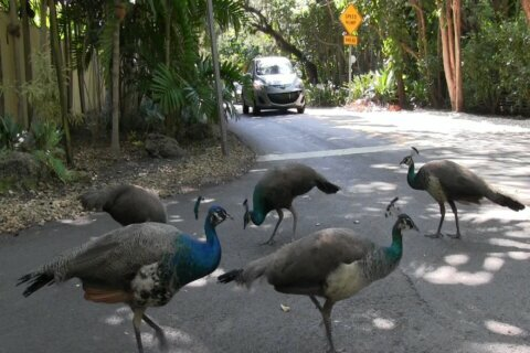 After residents cry fowl: Miami to relocate pack of peacocks