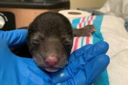 In this photo provided by the Wildlife Center of Virginia, a male black bear cub who was admitted to the center on Thursday, Feb. 6, 2020, in Waynesboro, Va. is cared for by staff members.  The cub was rescued the night before in Washington County when a family dog brought it home to its owners. The baby is being resettled with a mother bear and her biological cubs.  (Wildlife Center of Virginia via AP)