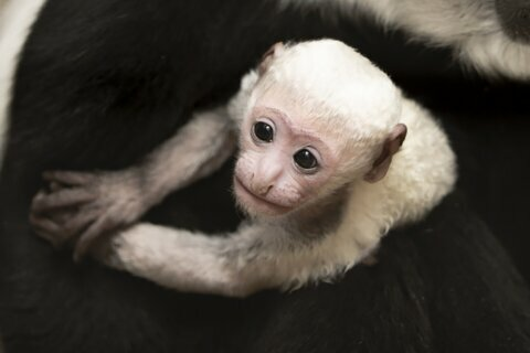 New colobus monkey makes debut at St. Louis Zoo